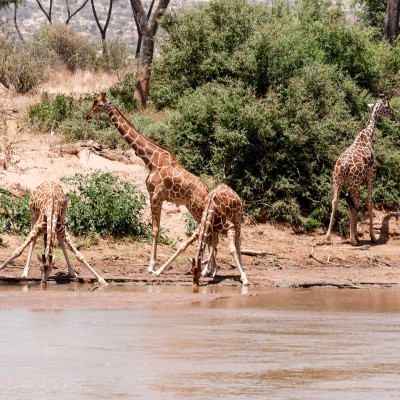 two of the four reticulated giraffe are drinking from the river. Their front legs are splayed and bent