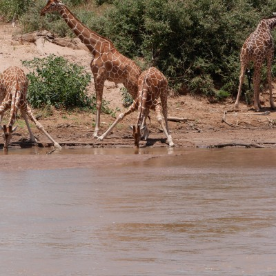 close up of reticulated giraffe drinking shows the angle needed to reach the water