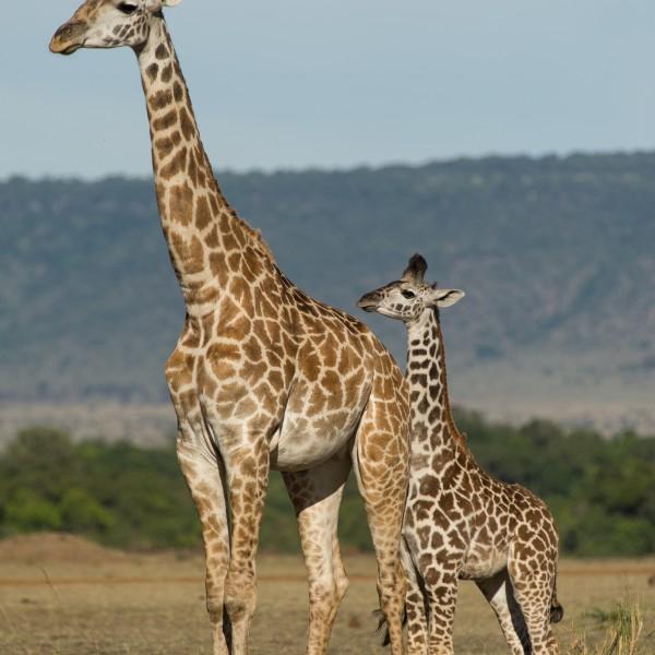 a mother and baby masai giraffe
