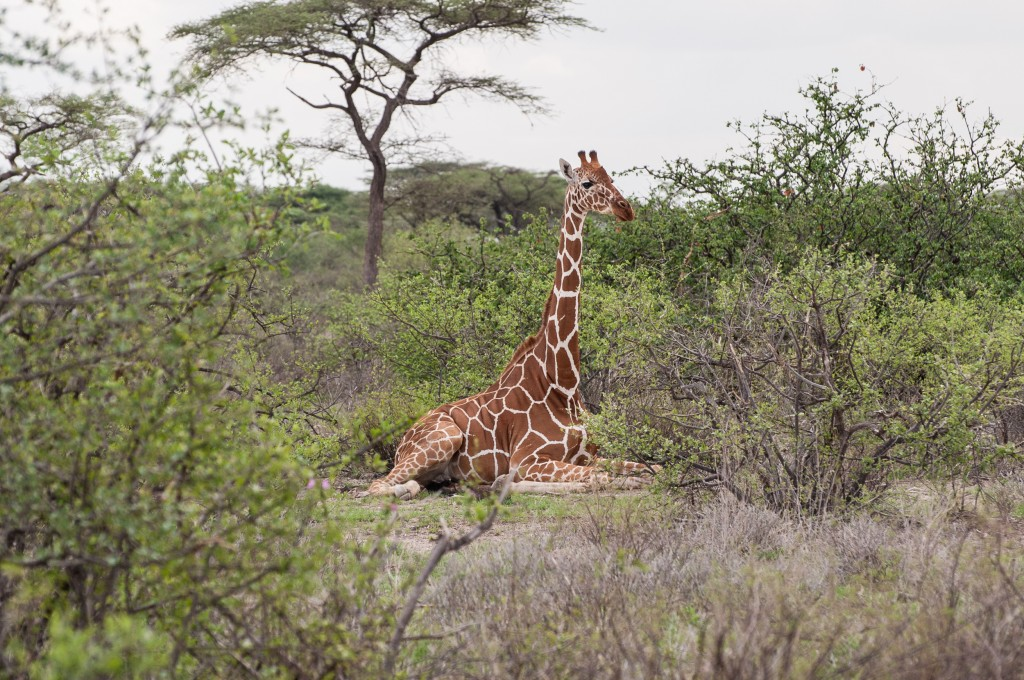 reticulated giraffe sitting on the ground with its legs neatly folded