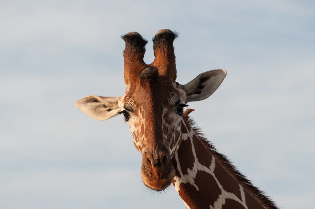 close-up of the head of a reticulated giraffe with a red-billed oxpecker sat on its neck just below the ear