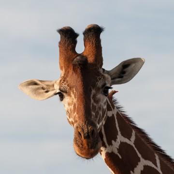 Eye to eye with a giraffe