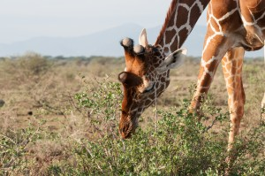 close-up of the head of a reticulated giraffe eating from a low bush