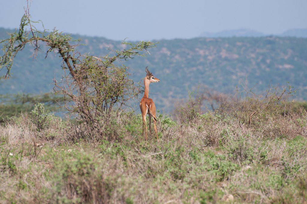 young male gerenuk, back to camera, looking out over the view