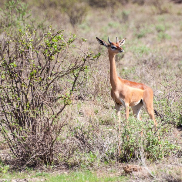 the gerenuk looks towards the camera