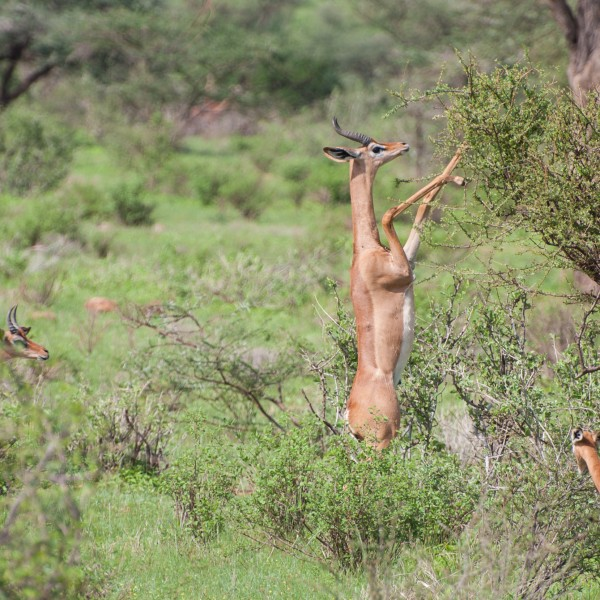 gerenuk is parting the leaves on the bush with its front legs to get a better look at what is on offer