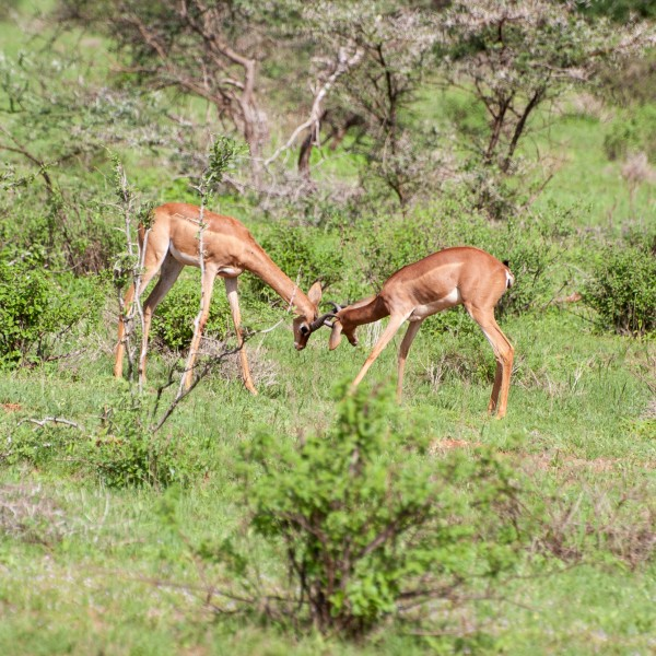 young gerenuk trying out their strength