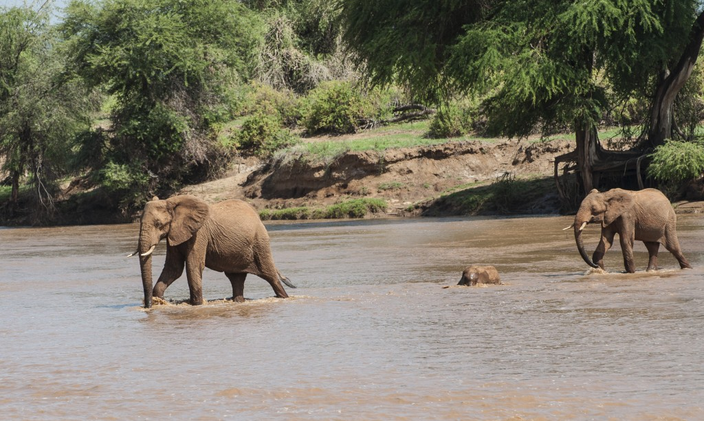 the match is striding ahead, the baby elephant is partly swimming and partly walking across and the older sibling brings up the rear