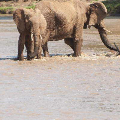 the mother elephant positions herself between the two siblings and uses her trunk to lift the baby out of the water
