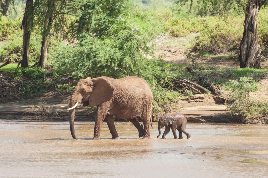 the baby continues across the river but now staying close to mum