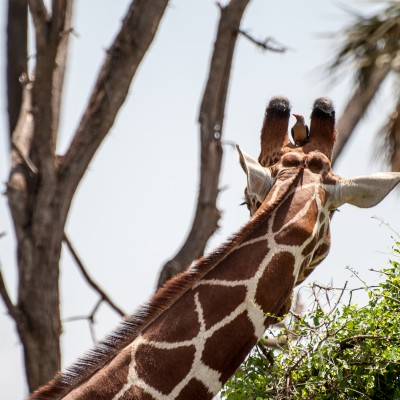 close up of the back of the head of a reticulated giraffe with a red-billed oxpecker seated between the giraffe's horns and looking towards the camera