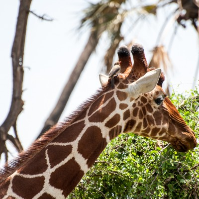 close-up of a reticulated giraffe showing side profile of its head with an oxpecker perched between the ears and behind the horns