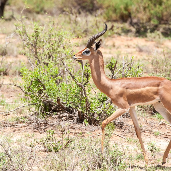 Moving right to left this gerenuk has beautiful horns and stunning face markings