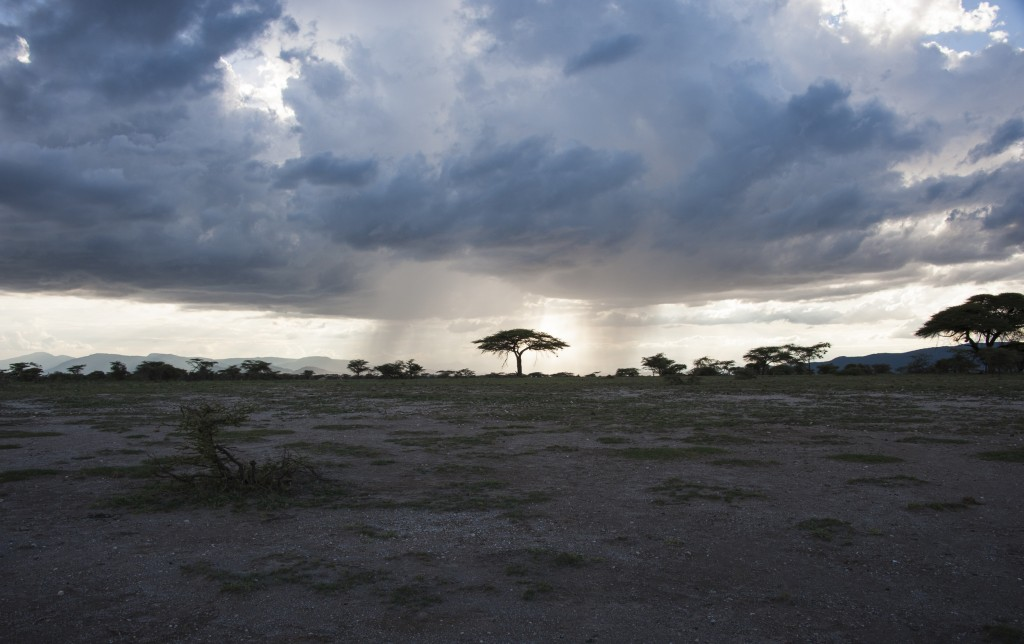 dark storm clouds are rolling in leaving a layer of bright light on the horizon that silhouettes the acacia tree.