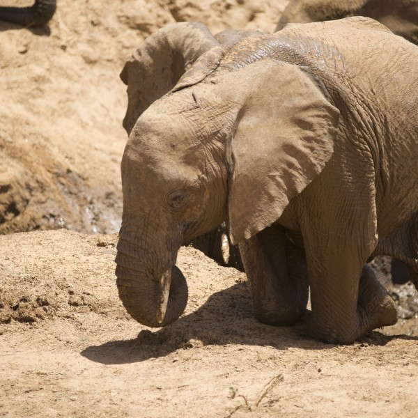 elephant getting out of the river first on its knees