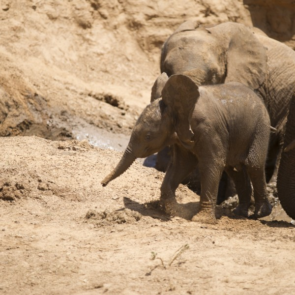 baby elephant finally pops up on to all 4 legs