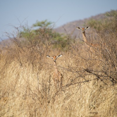 the baby gerenuk in the front peered over the scrub at us for quite a while. Mum checked us out but then went back to feeding