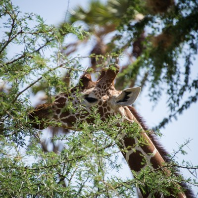 close-up of the head of a reticulated giraffe feeding on thorny acacia