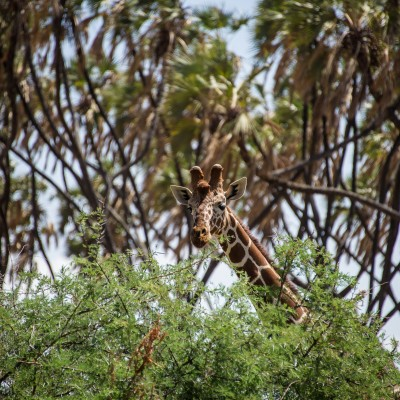 reticulated giraffe looking over the acacia bush it is feeding on with palm trees in the background