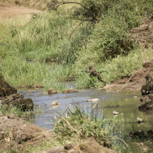 picture of baboons at the stream drinking with a young baboon leaping from the bank to a stepping stone.