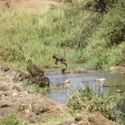 Small baboon pushing off from a rock in the stream