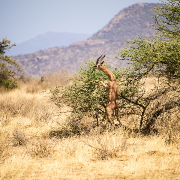 male gerenuk on hind-legs eating from the top of a low bush. His muscles are very distinct
