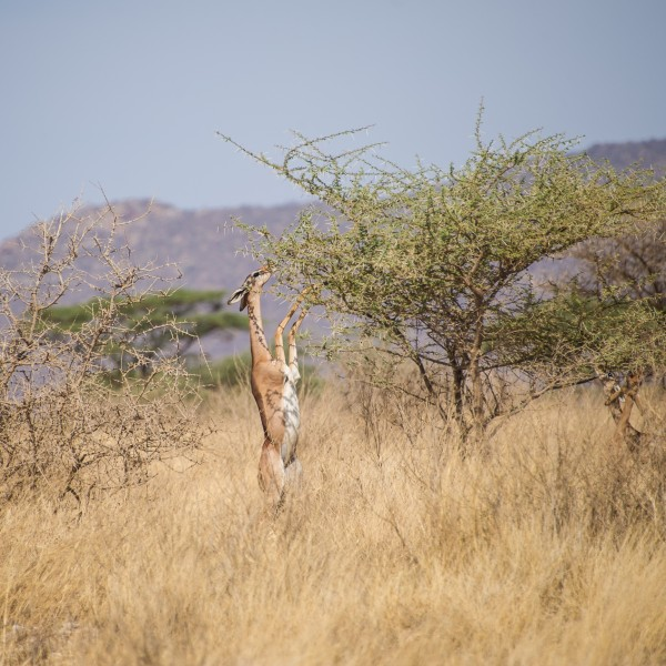the gerenuk is using its front legs to give it extra balance so that it can stretch its neck back and up to reach even higher leaves