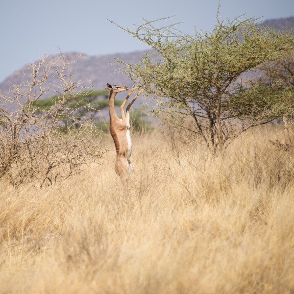 the gerenuk is holding the branches down with its front legs so it can get at the best leaves