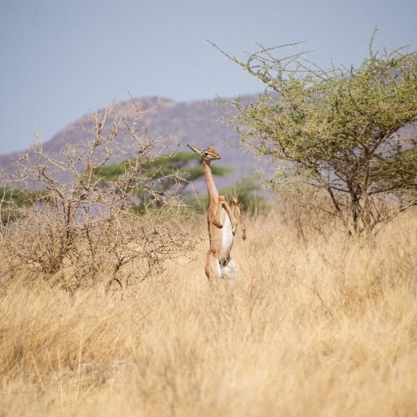 female gerenuk balanced totally on her hind -legs