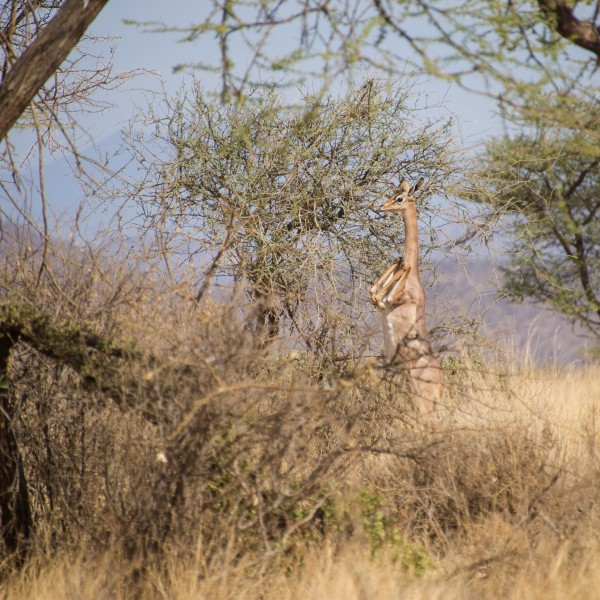 female gerenuk perfectly balanced on her hind-legs with her front legs pulled in above her chest. She is about to drop to the ground.