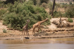 a mature and a juvenile reticulated giraffe by the river. The juvenile has a darker colour to its coat.