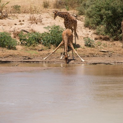 young reticulated giraffe drinking from the river with front legs locked but fully splayed
