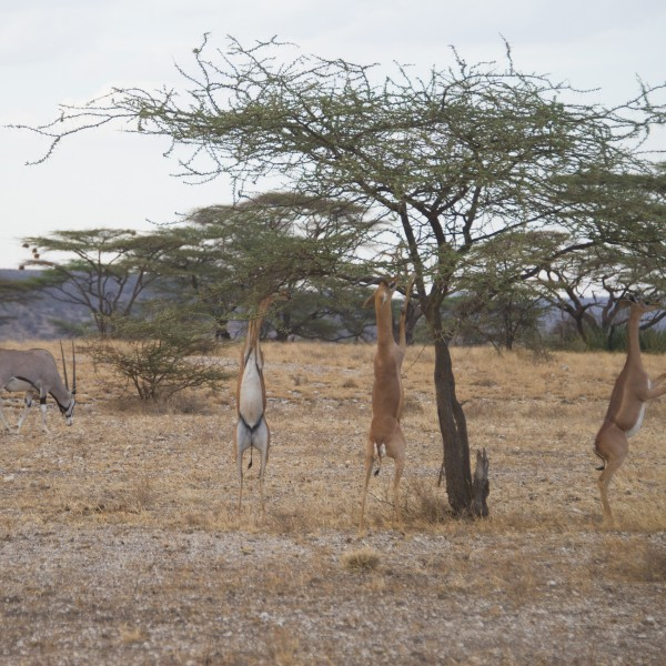 out in open ground 4 gerenuk are all feeding from one tree and in the background is grazing oryx