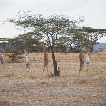Gerenuk – almost on stilts