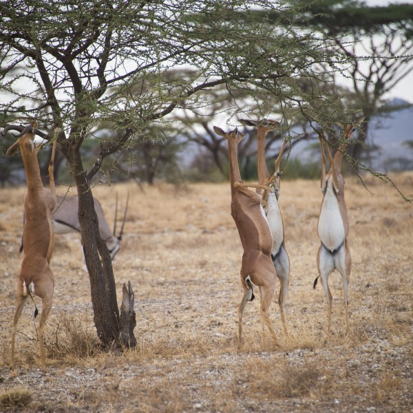 a closer view of the 4 gerenuk all on their feet. They look like they are dancing!