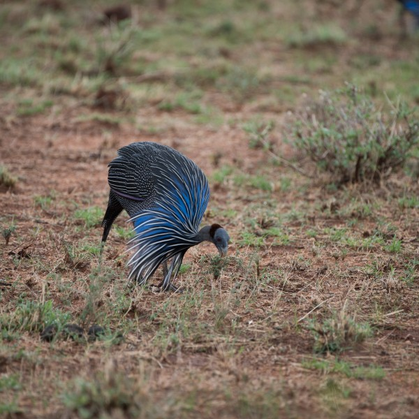 Vulturine guineafowl feeding with bald head and long neck feathers clearly displayed.