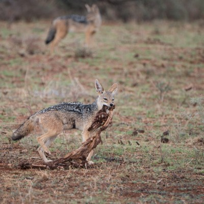 Black-backed jackal moving the remains of a carcase