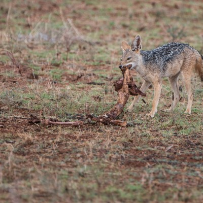 The black-backed jackal tugging at the remains of the kill.