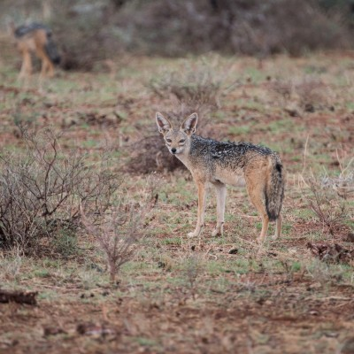 Blacked-backed jackal pauses and looks back before jogging away