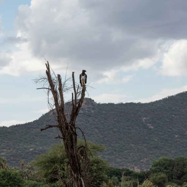 Long shot of a Martial Eagle perched on a dead tree against a stormy sky.