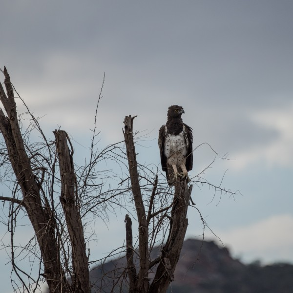 Closer view of the Martial Eagle perched on a dead tree.