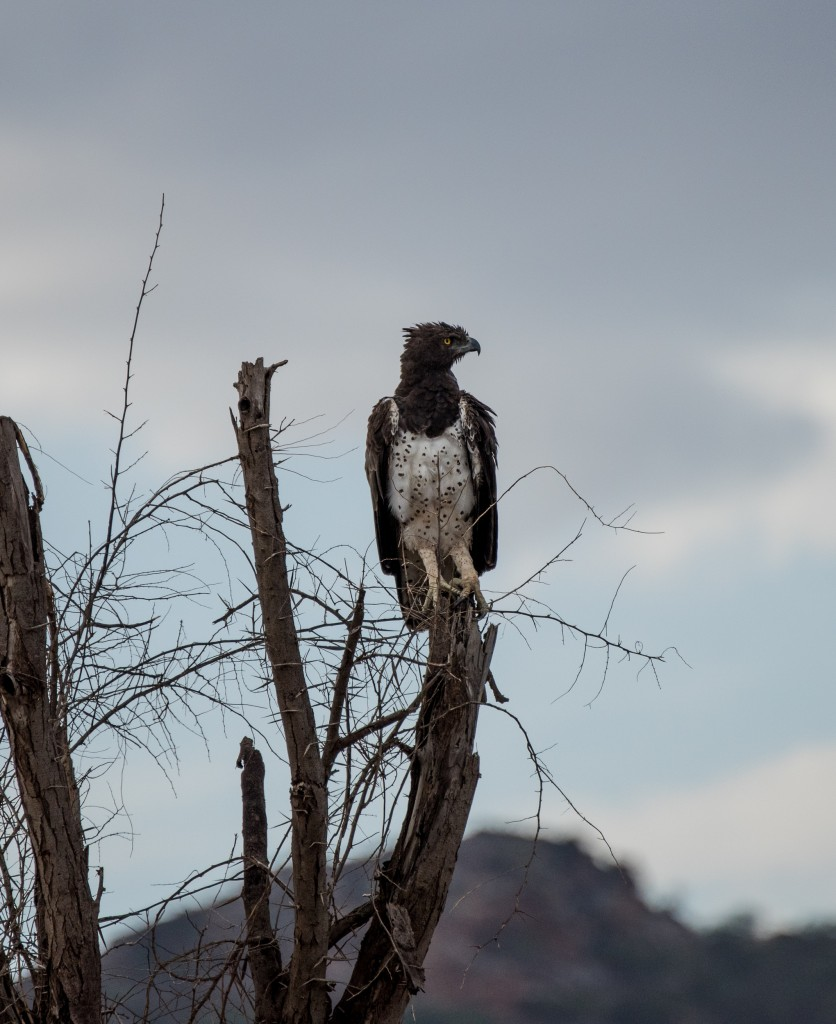 Close-up of a martial eagle perched on a dead tree.