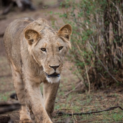 Slow and measured the lioness approaches
