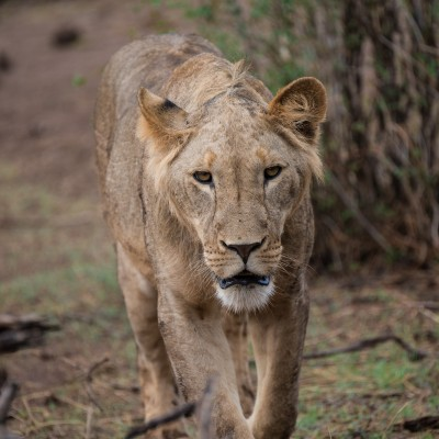 Lioness keeps coming towards us and seems to look down the lens.