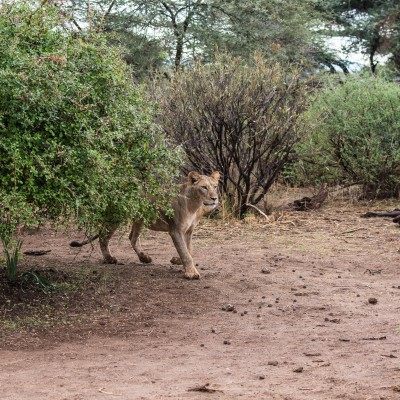 The lioness reappears from behind the bush.