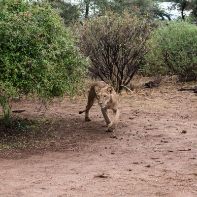 The lioness comes around the bush and moves to our left.