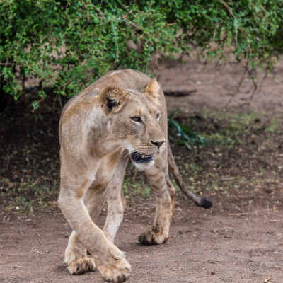 A lioness changing direction and illustrating her tight turning circle