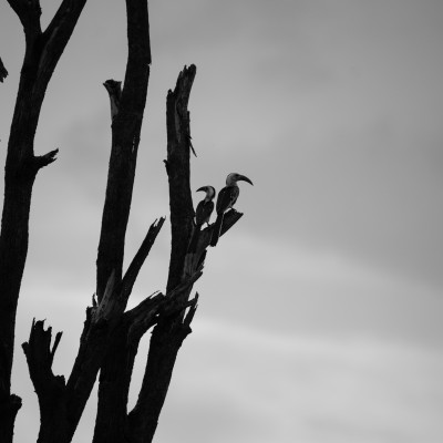 A pair of hornbills silhouetted against a stormy sky