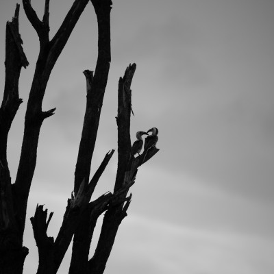 The red-billed hornbill are in the fork of a dead tree with a dramatic dark sky behind