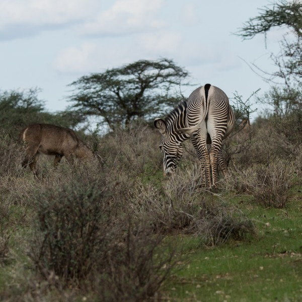 The grevy zebra is facing away and this shot shows its rump.